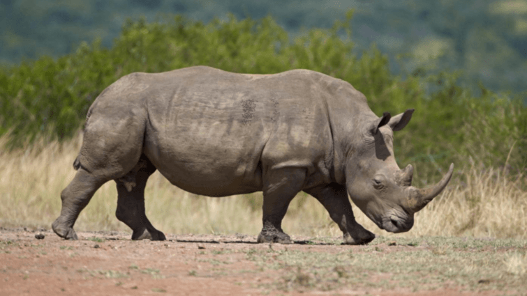 poaching in assam Save assam's rhinos ngo forum, comprising 29 non-governmental organisations, has been drawing public attention to the unabated rhino poaching in assam.