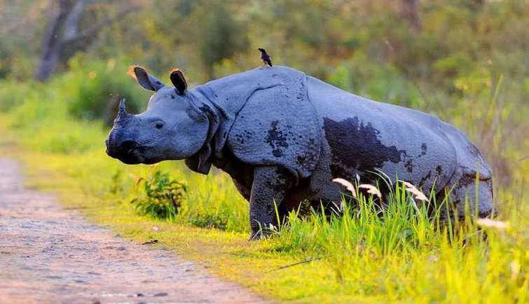 Rhino in Kaziranga National Park.jpg