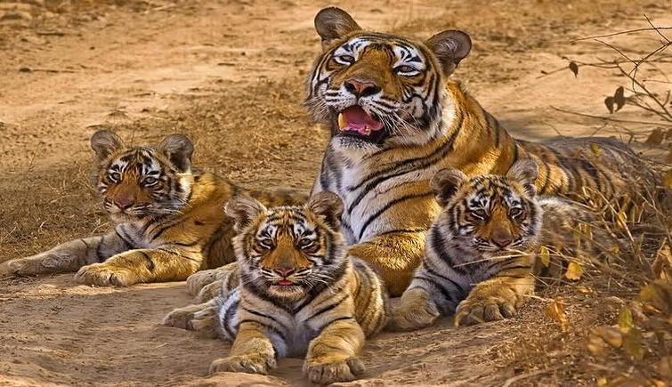 Tiger Population Upsurge in Nationals Parks in Assam