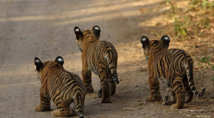 tigers in kaziranga