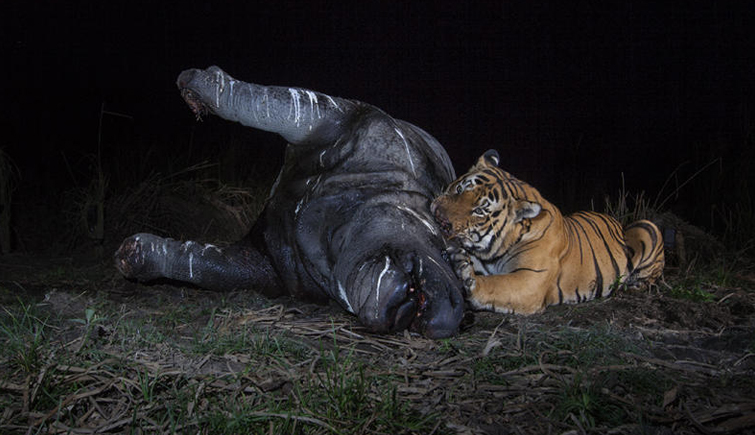 A Royal Bengal Tiger and a Rhinoceros Found Dead in Kaziranga