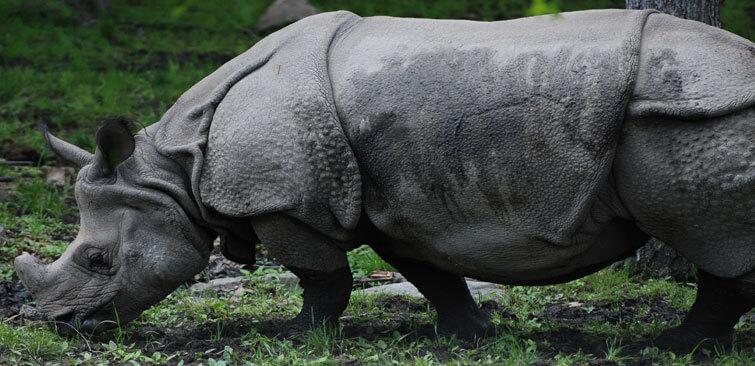 Pobitora National Park Rhino