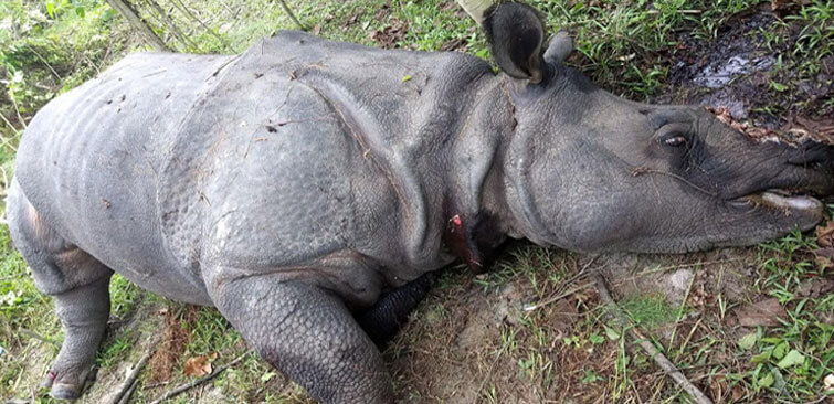 Rhino Killed Kaziranga National Park