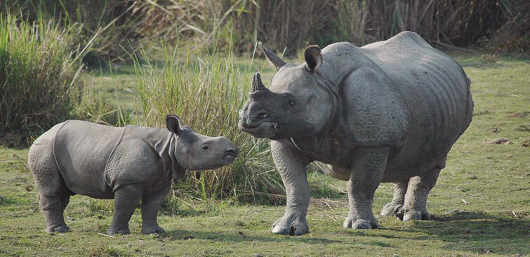 Kaziranga-One-horned-rhino-population-rises