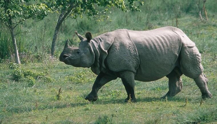 Kziranga Rhino