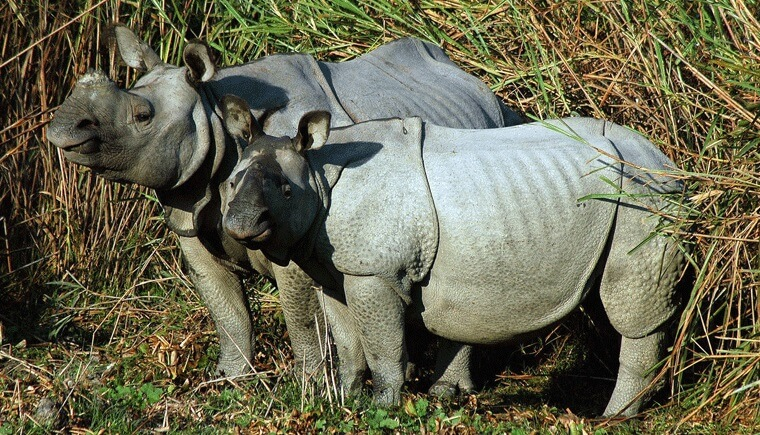 Rhino Couple Kaziranga