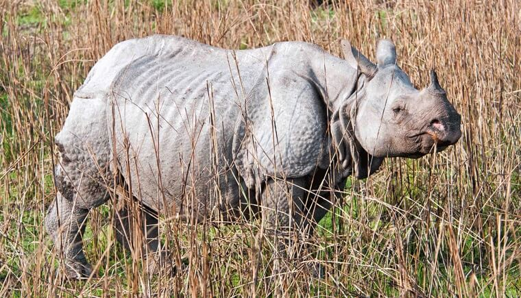 Rhinoceros Kaziranga Park