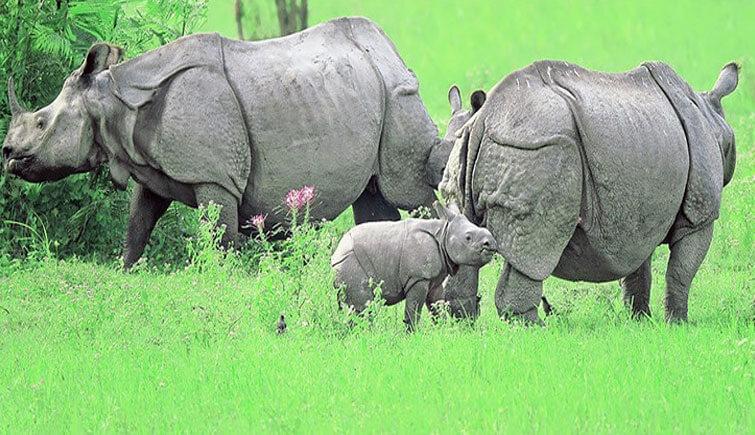 Kaziranga-Rhinos