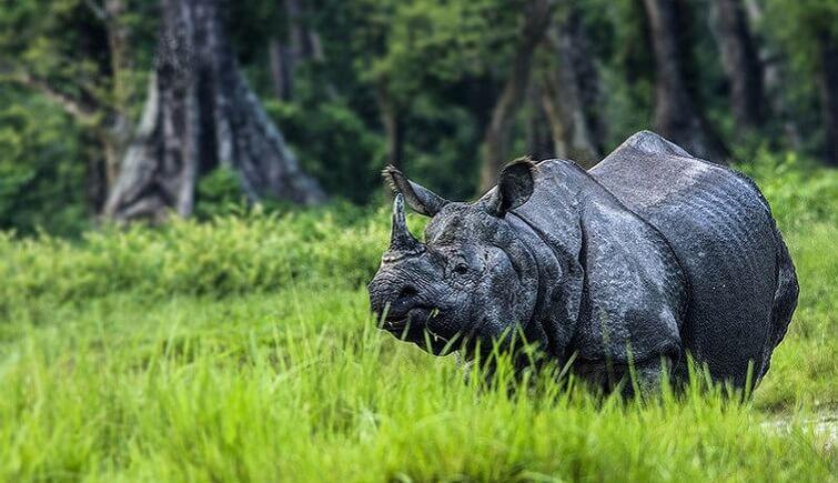 Rhinos in Jaldapara