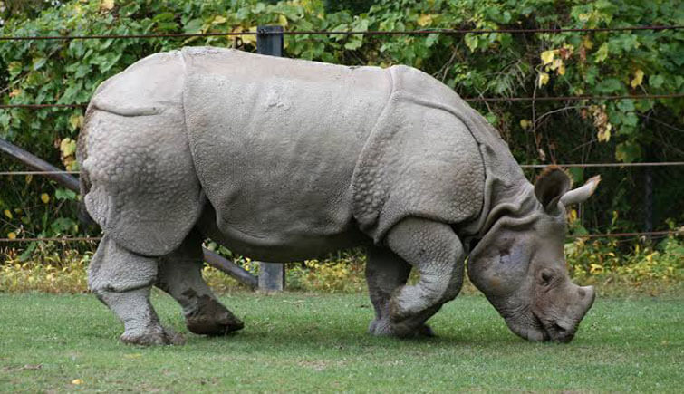 rhino-eating-grass