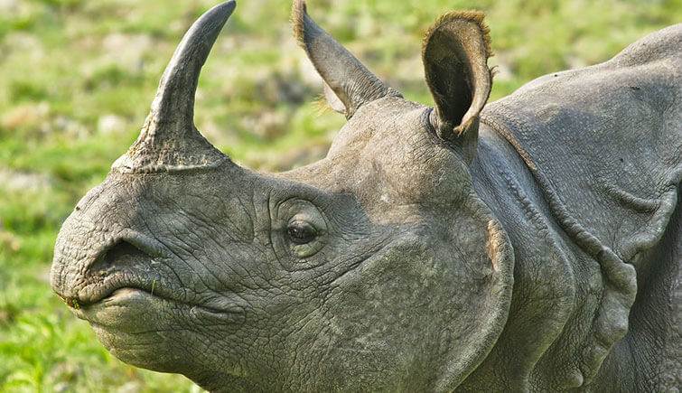 one-horned-rhino-in-kaziranga