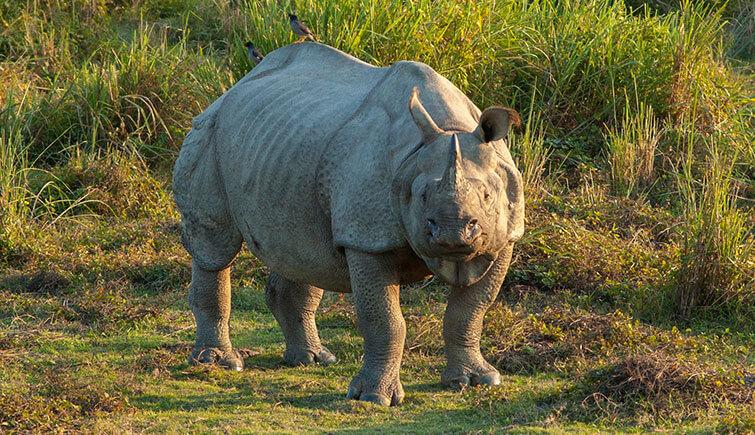 rare-one-horned-rhino-monsoon-season