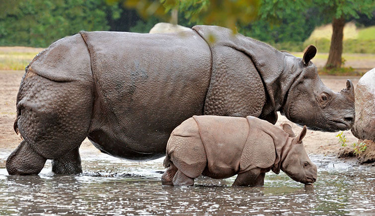 rhino-with-baby-rhino