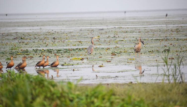 water-birds-in-a-wetland-in-Pobitora-Image-Chandan-Kumar-Duarah